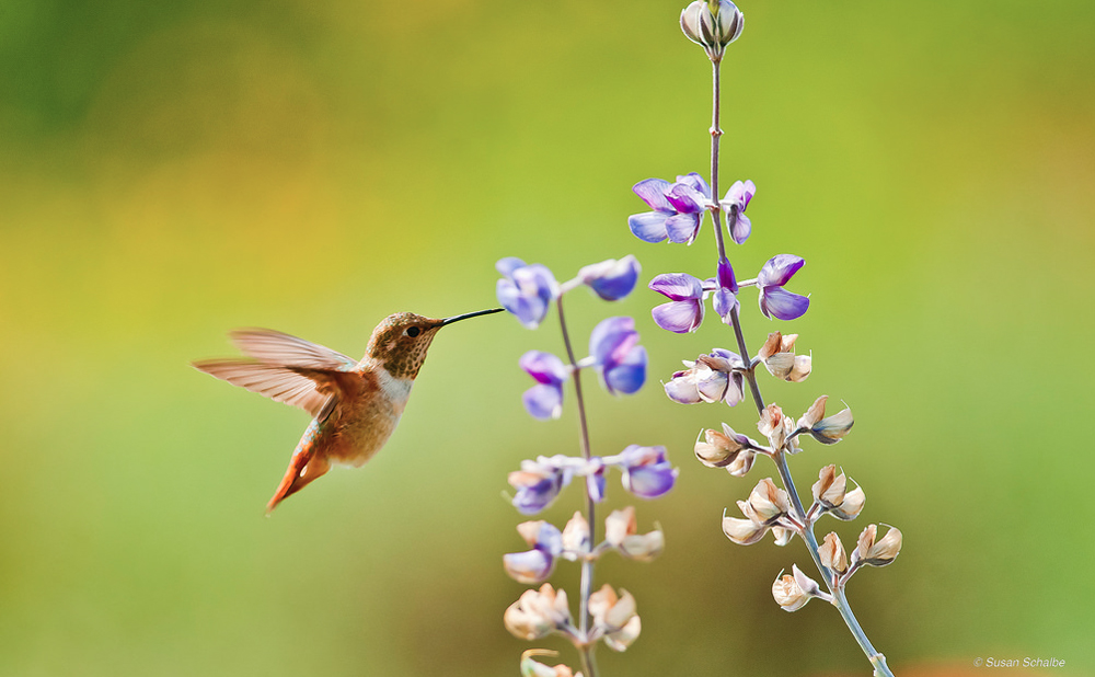 Hummingbirds love Lupine flowers