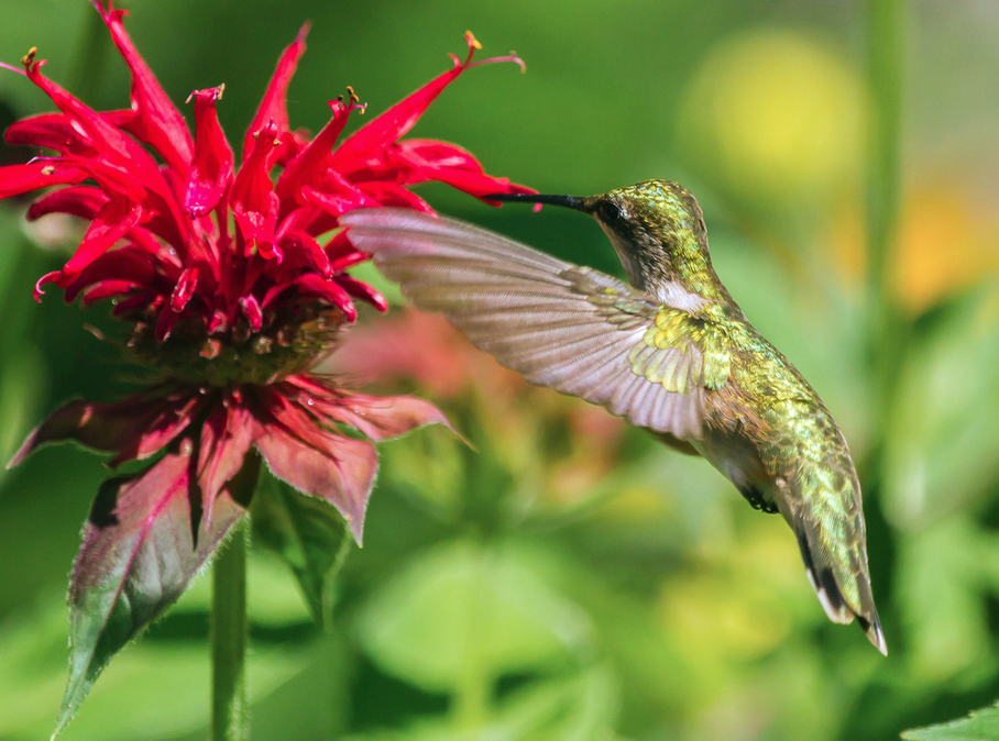 Hummingbirds love Monarda flowers