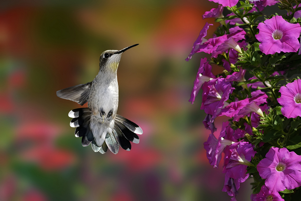 Hummingbirds love the flowers of Petunia plants