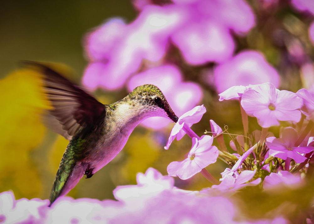 Hummingbird drinking from a Phlox flower