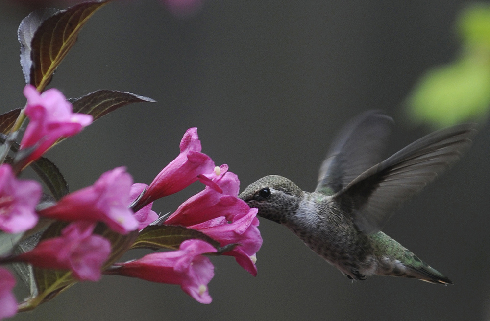 Hummingbird pollinating a Weigela flower