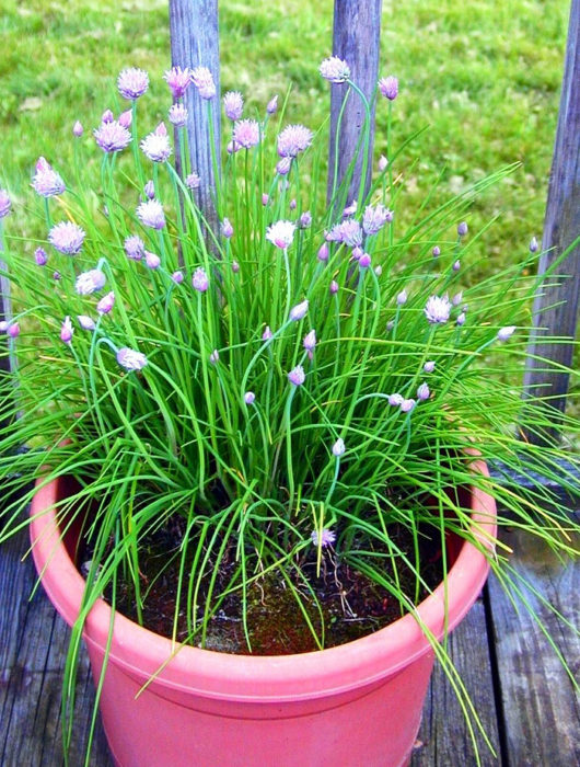 Favorite herbs for container gardening