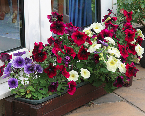 Petunias growing in a patio container