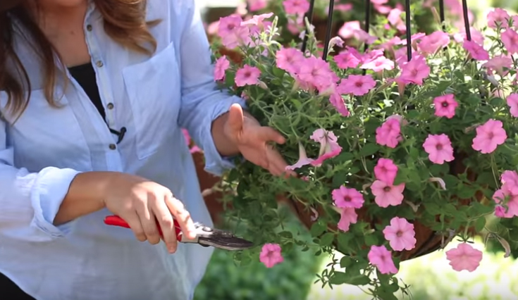 Trimming petunias the proper way