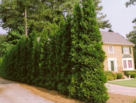 Growing arborvitae trees