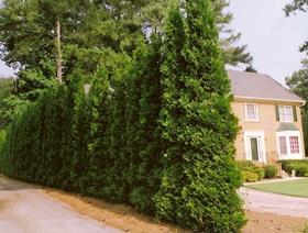Growing arborvitae trees