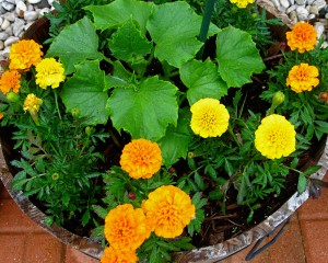 Growing cucumbers with marigold flowers