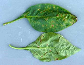 Pepper plant leaves that are diseased