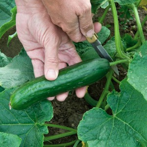 how to grow cucumbers: harvest time