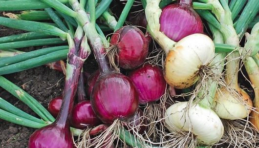 How to determine which onions to plant