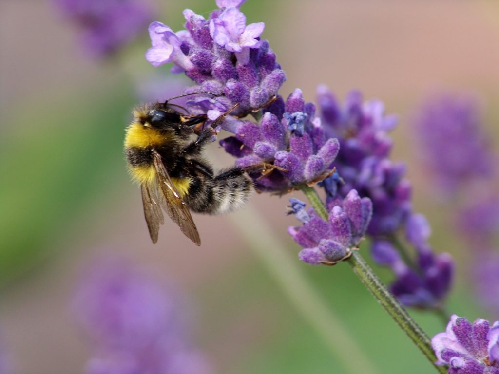 lavender for bees