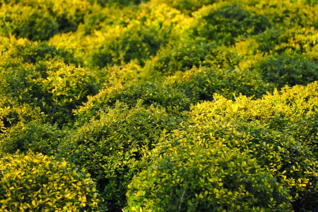 buxus-for-birds