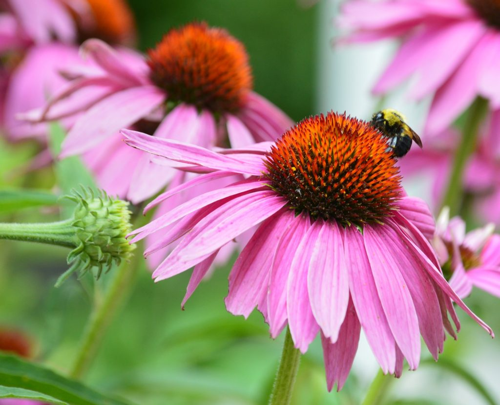 Echineacea for bees