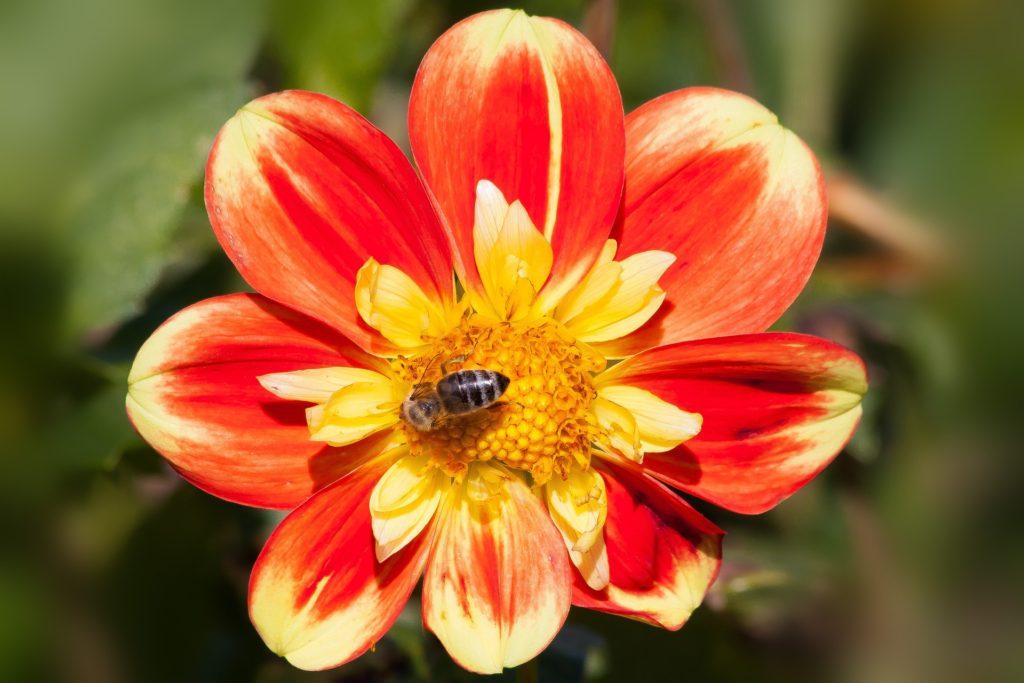 dahlia for bees