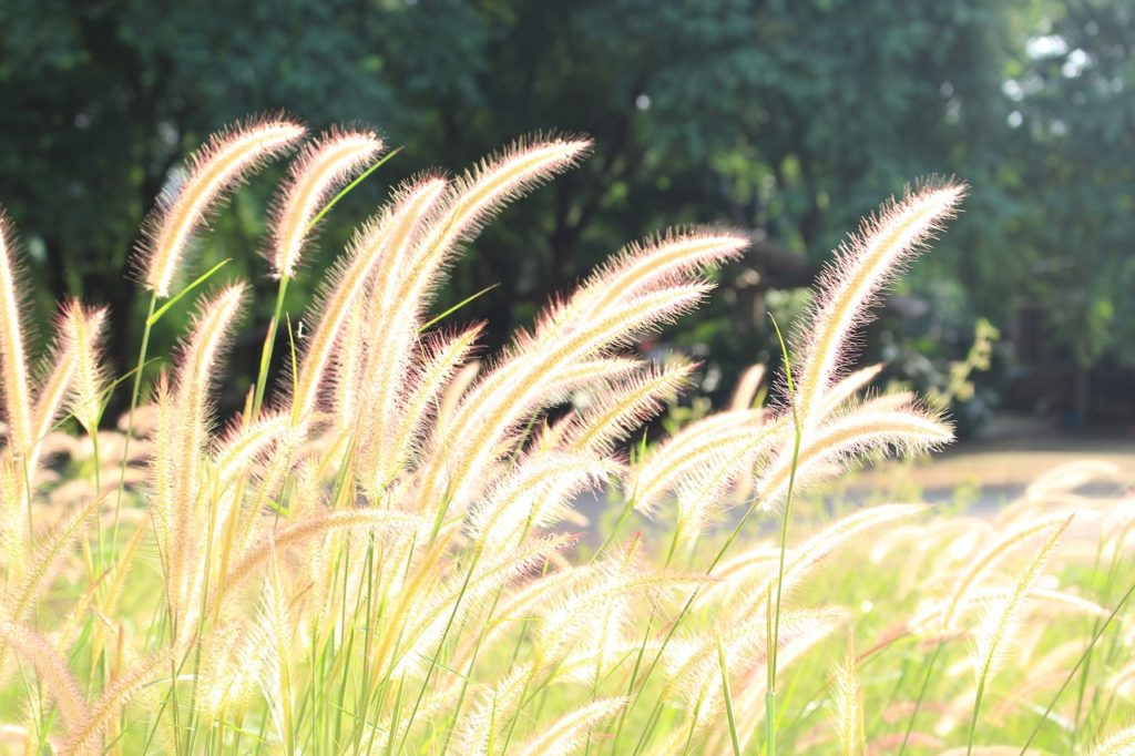 fountain grass for bird seed