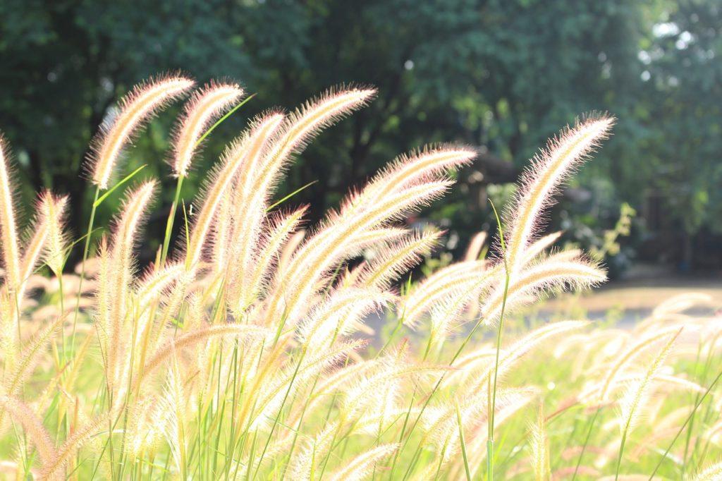 fountain grass for bird seed
