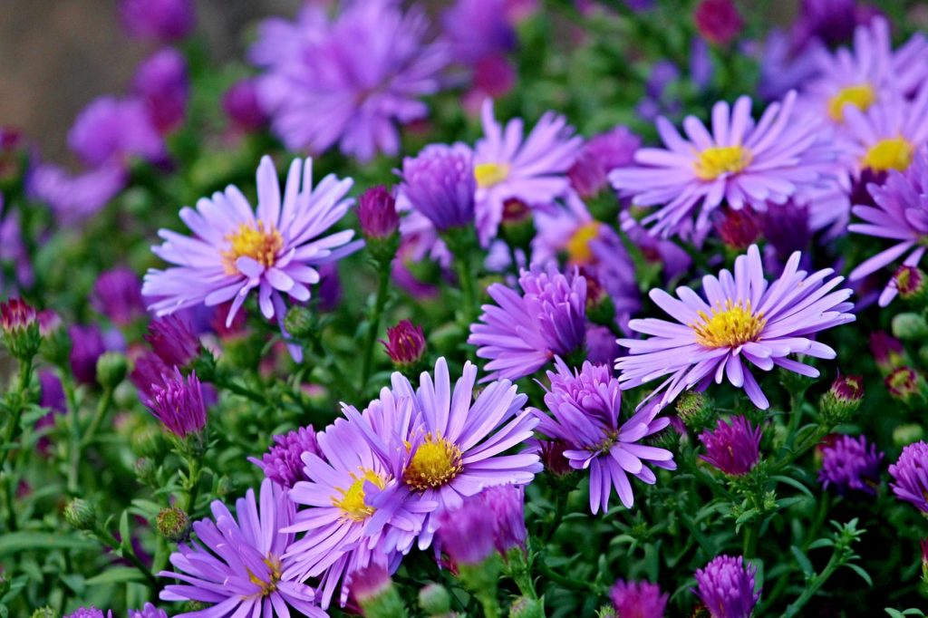 asters for birds