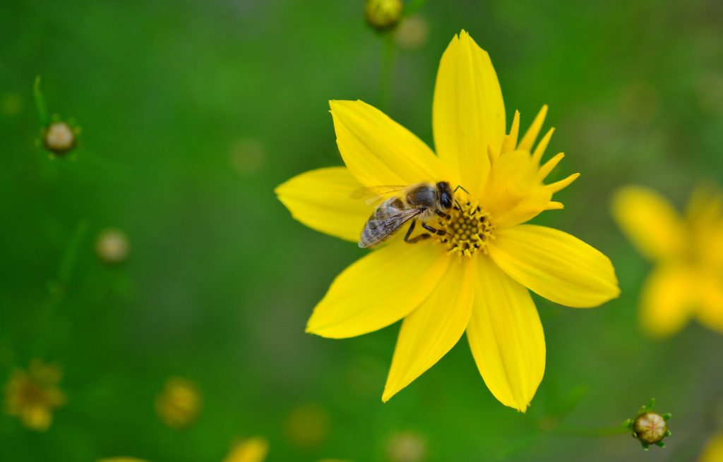 coreopsis for bees