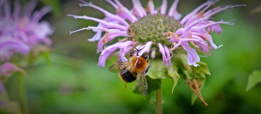 monarda for bees