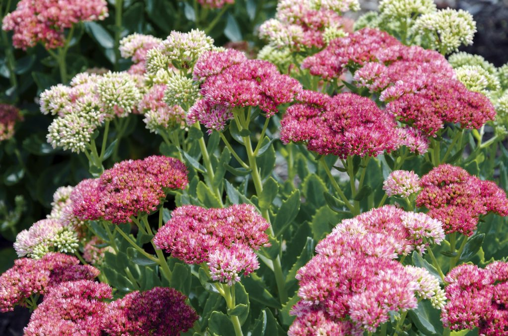 sedum for birds