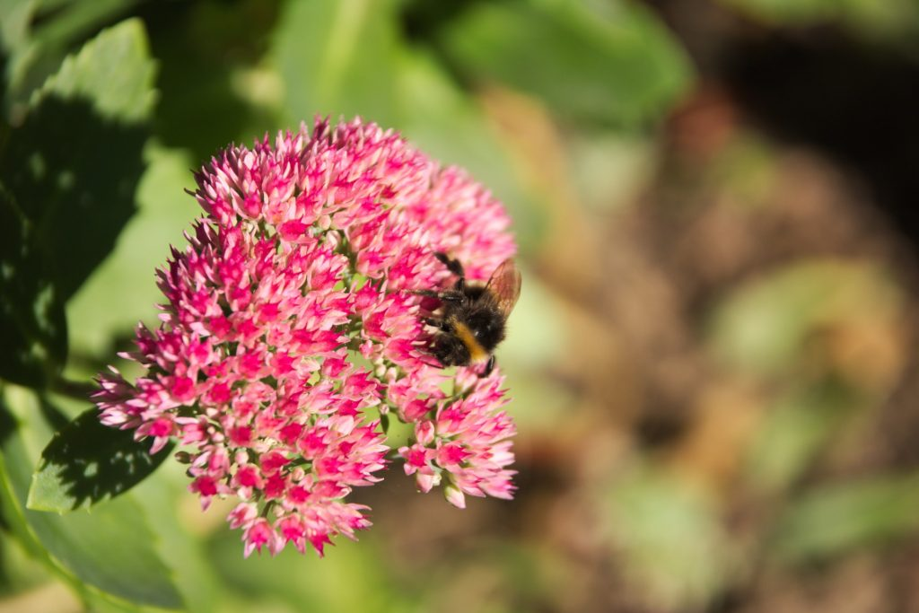 sedum for bees