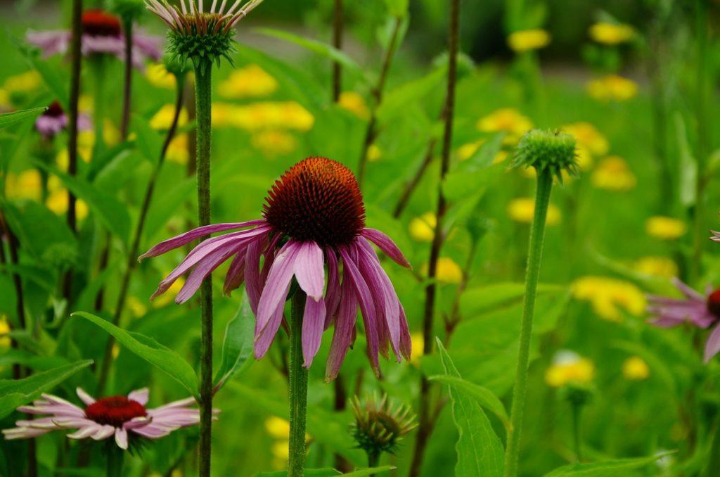 echinacea-purpura