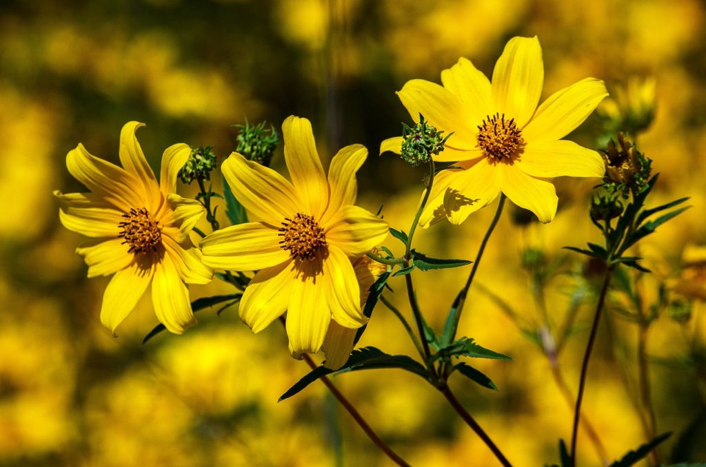 coreopsis for birds