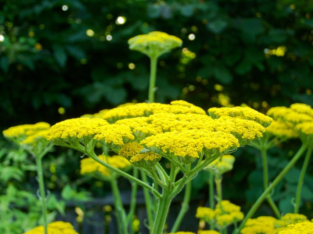 achillea for birds