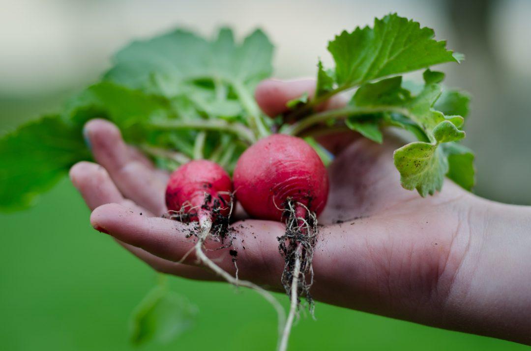 Garden_radish_hand_health