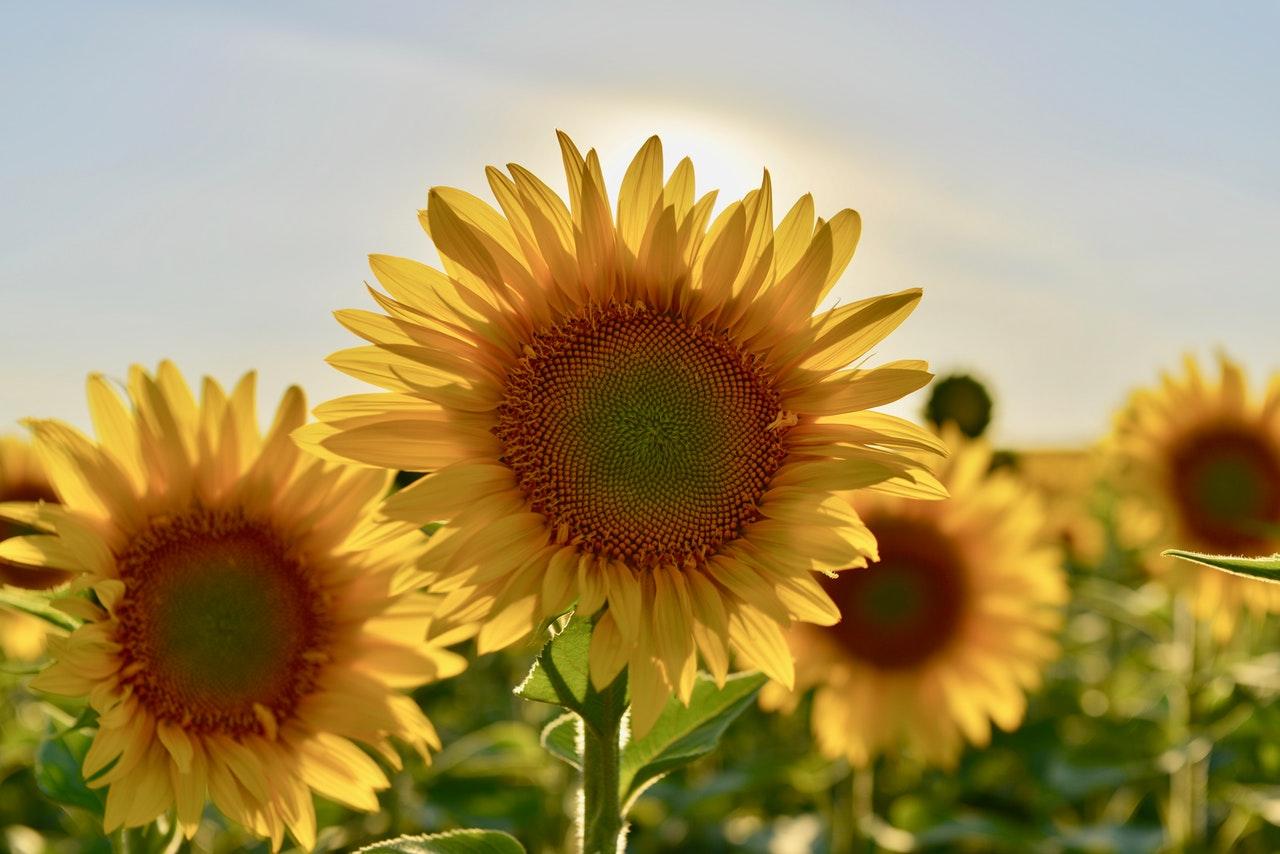 sunflower_garden
