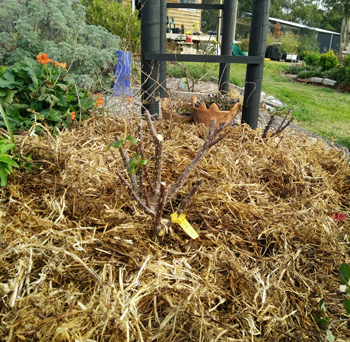 mulched rose bush for winter