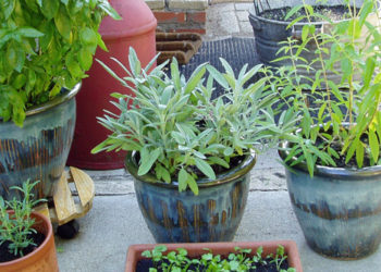 Top 10 herbs for containers