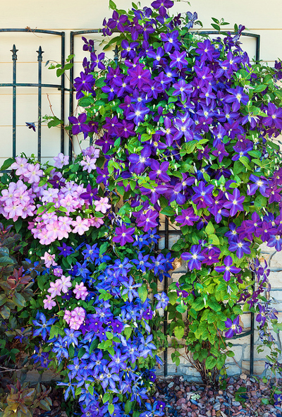 how to care for clematis vines