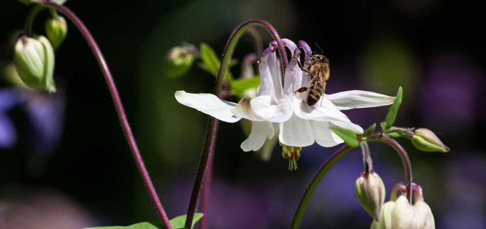 aquilegia for clay soil