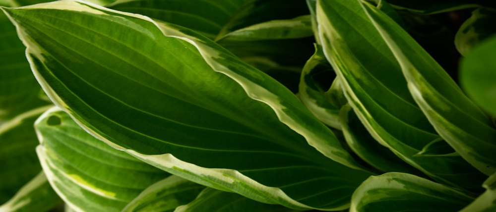 hosta plants add color to shady areas