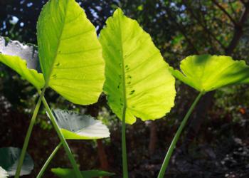 how to grow colocasia plants