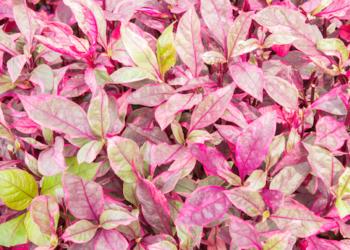 how to grow alternanthera plants