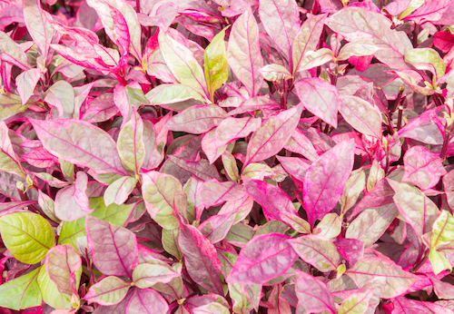 how to grow alternanthera plants