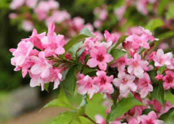 caring_for_weigela