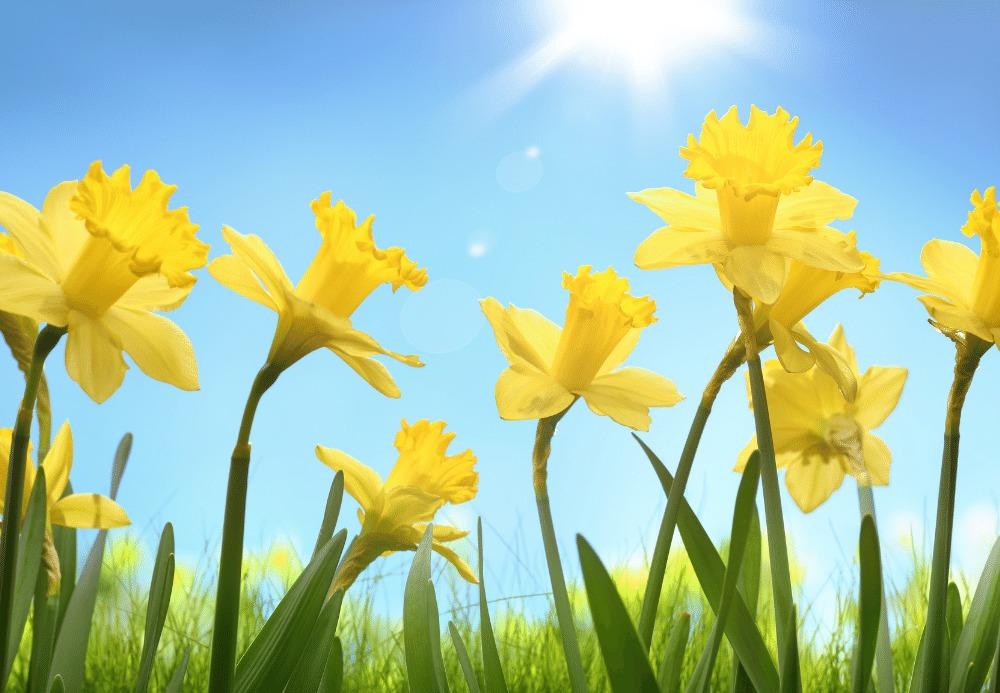 planting fall flower bulbs for spring daffodils